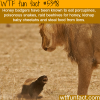 honey badgers wtf fun facts