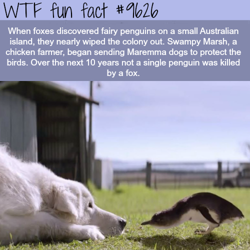 How dogs saved the fairy penguins - WTF fun fact