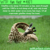 how giraffes sleep wtf fun facts
