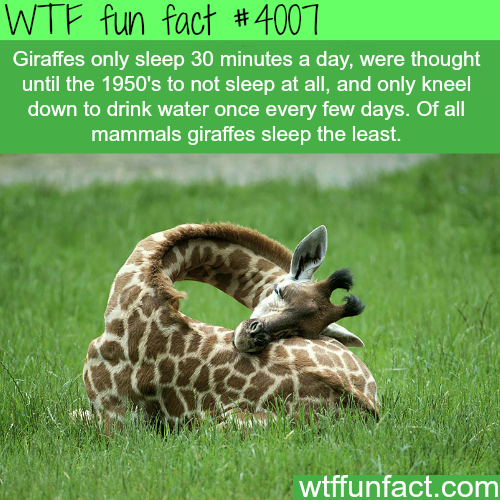 How Giraffes Sleep - WTF fun facts