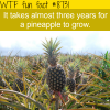 how long it takes for a pineapple to grow wtf