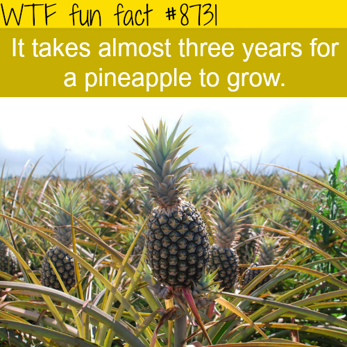 How long it takes for a pineapple to grow - WTF fun facts