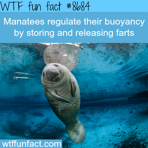How Manatees Regulate Their Buoyancy - WTF fun facts