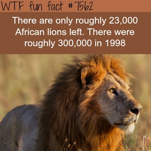 How many African lions are there in the world - WTF fun facts