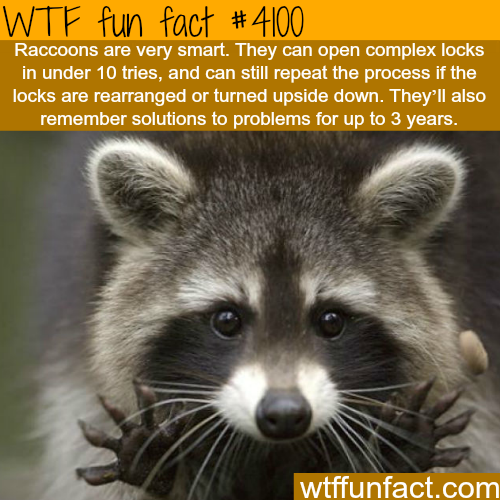 How smart are Raccoons - WTF fun facts