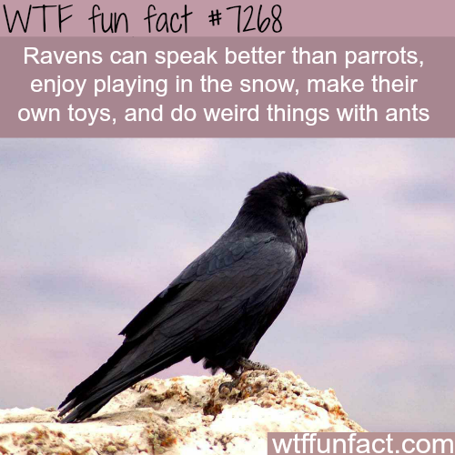 How smart are ravens - WTF fun fact