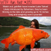 huge goldfish in lake tahoe