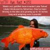 huge goldfish in lake tahoe