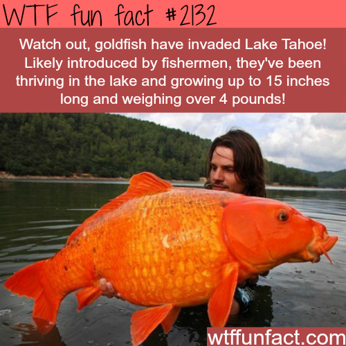 Huge goldfish in Lake Tahoe - WTF fun facts