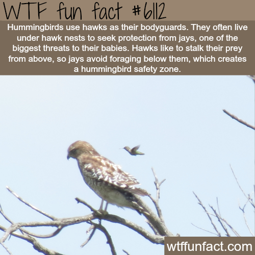 Hummingbirds use hawks for protection - WTF fun facts