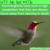hummingbirds wtf fun facts