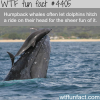 humpback whales and dolphins wtf fun facts