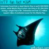 indonesia s manta ray tourism
