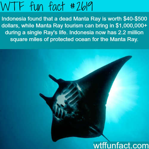 Indonesia's Manta Ray Tourism - WTF fun facts
