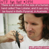 insect the size of a human hand tree lobster