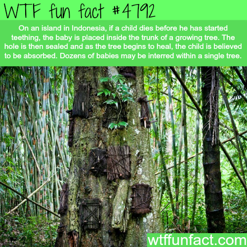 Island in Indonesia where they put dead babies inside trees - WTF fun facts