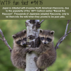 japan is infested with raccoons wtf fun fact