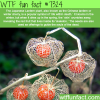 japanese lantern plant wtf fun fact