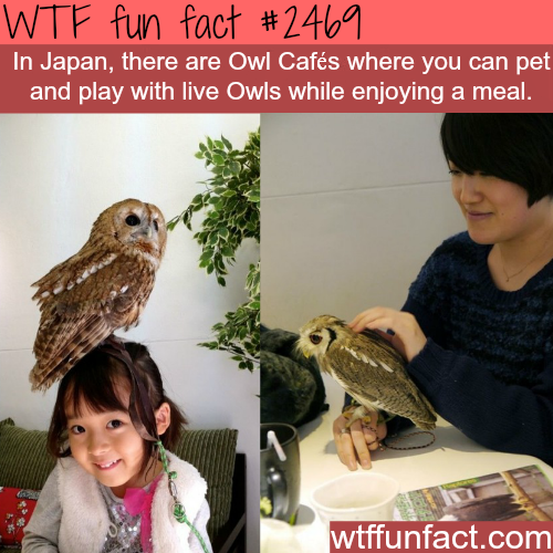 Japan's Owl Cafes - WTF fun facts