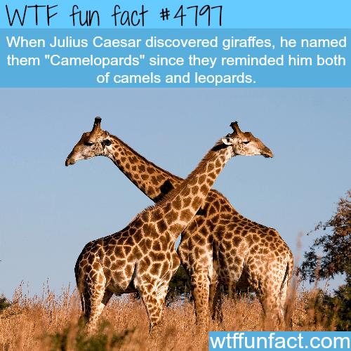 Julius Caesar named giraffes