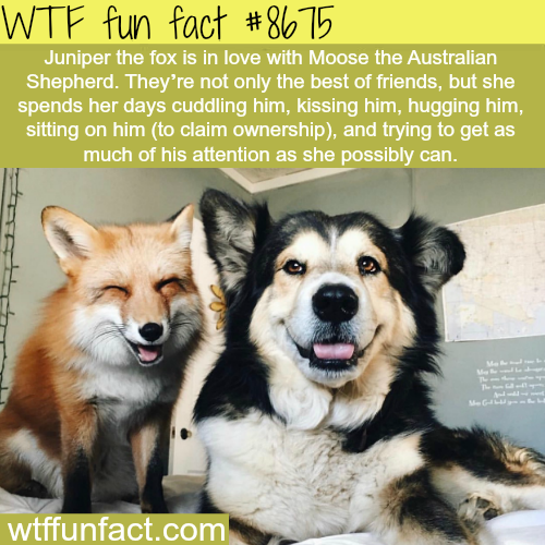 Juniper the fox - WTF fun facts