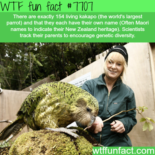 Kakapo - WTF fun facts