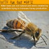 killer bees are not natural wtf fun facts