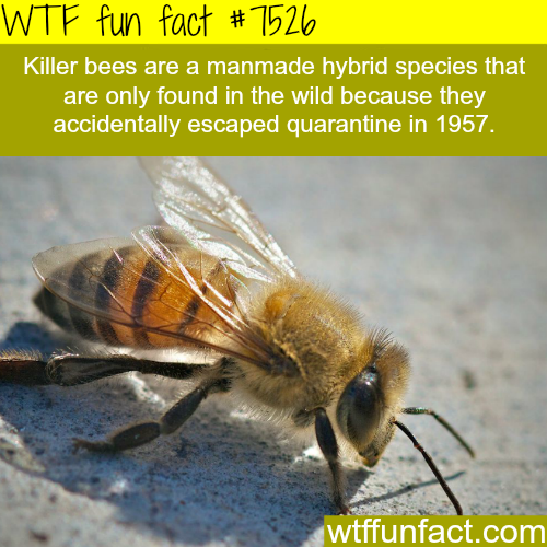 Killer bees - WTF fun fact