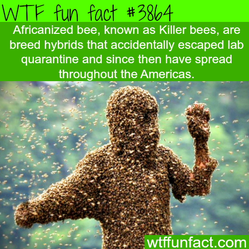 Killer bees - WTF fun facts
