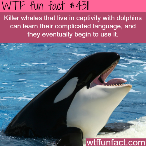 Killer whale learns dolphin language -  WTF fun facts