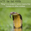 king cobra wtf fun facts