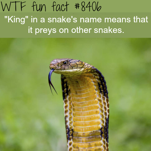 King Cobra - WTF fun facts