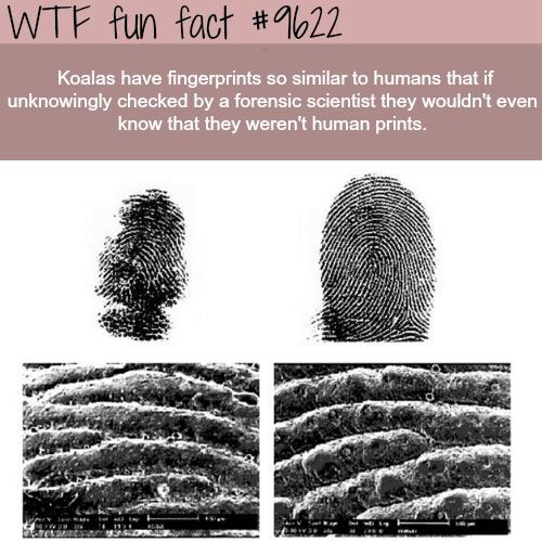 Koalas - WTF fun fact