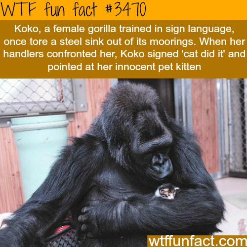 Koko the gorilla and it's kitten -  WTF fun facts