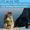 macaques monkey in japan wtf fun fact