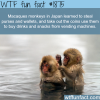 macaques monkeys in japan wtf fun facts