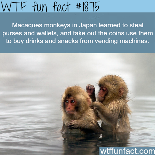 Macaques Monkeys in Japan - WTF fun facts