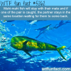 mahi mahi fish wtf fun facts