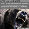 man vs bear fight wtf fun facts