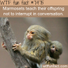 marmosets facts