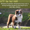 mini australian shepherds wtf fun fact