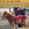 miniature guide horses for the blind
