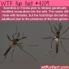 modified mosquitoes