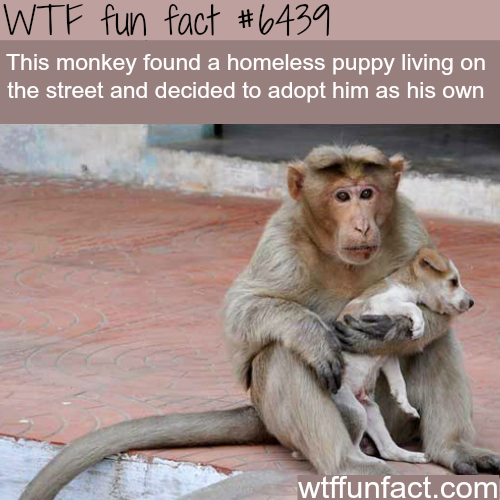 Monkey adopts a puppy - WTF fun facts