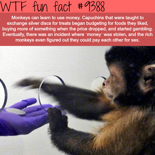 Monkey Using Money - WTF fun facts