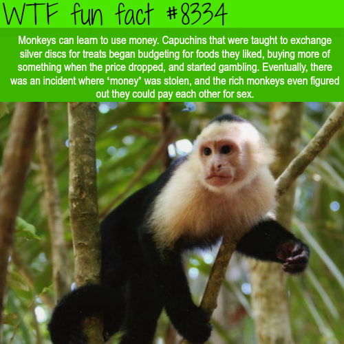 Monkeys can learn how to use money - WTF fun facts