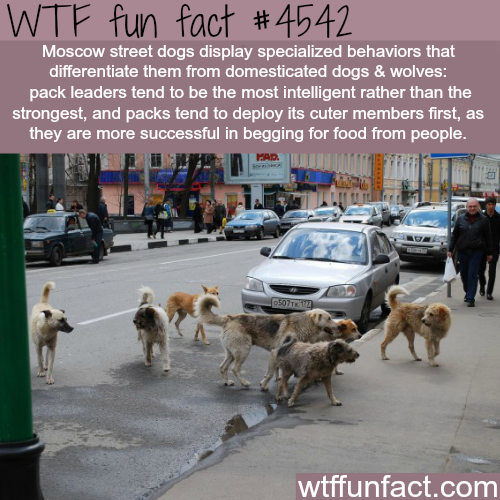 Moscow street dogs are smarter than other dogs -   WTF fun facts