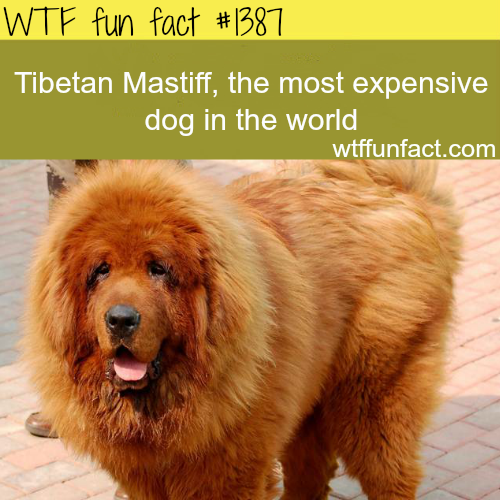 Mostexpensivedog in the world - animals fact