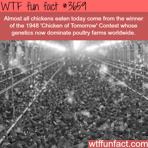 Most of the Chickens we eat today come from one chicken -  WTF fun facts