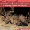 nycs rats wtf fun fact